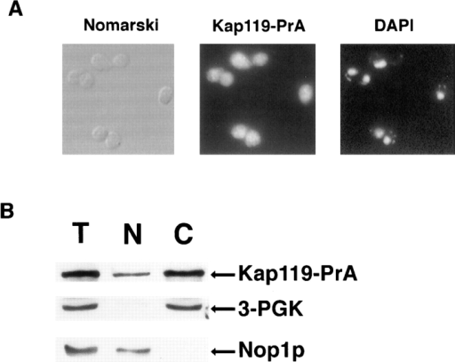 Cellular localization of Kap119p. A strain where endogenous Kap119p was replaced by protein A-tagged Kap119p  (Kap119-PrA) was used. (A) Yeast cells were visualized by  Nomarski (left) and Kap119–PrA was detected by indirect immunofluorescence (middle). Nuclei were visualized by DAPI staining (right). (B) A cell homogenate (T) was fractionated into a cytosolic (C) and a nuclear (N) fraction. Cell equivalent amounts  were analyzed by SDS-PAGE and Kap119–PrA, cytoplasmic  3-phosphoglycerate kinase (3-PGK), and nucleolar Nop1p were  detected immunologically using either rabbit anti–mouse IgG,  monoclonal mouse antiserum D66, or monoclonal mouse antiserum 22C5-D8.