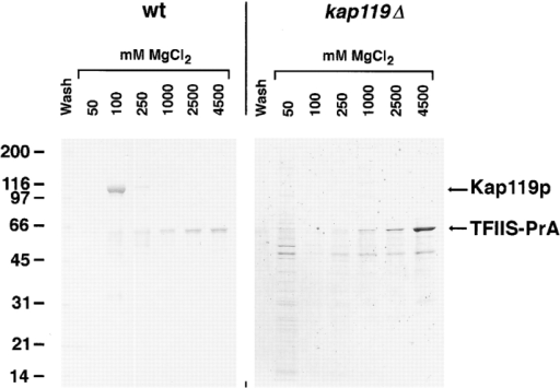 TFIIS–PrA pulls out Kap119p in a wt strain but does  not appear to pull out an alternative Kap in a kap119Δ strain. Cytosolic fractions were prepared from wt strain or from a kap119Δ  strain and analyzed as described in Fig. 2. The major band of  ∼120 kD that eluted from the IgG–Sepharose at 100 mM MgCl2  in the wt cytosol experiment (left) was identified by mass spectrometry as Kap119p. Note that no visible bands at the 100 mM  MgCl2 step were detected in the kap119Δ cytosol experiment  (right) in the region above 90 kD where most Kapβs migrate.