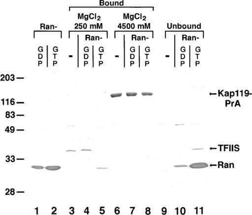 RanGTP but not RanGDP dissociates TFIIS from and  binds to Kap119p. Incubation of Sepharose-bound Kap119–PrA/ TFIIS complex with recombinant RanGTP results in dissociation  of TFIIS. Three times the previously used amount of Kap119– PrA cytosol was used for immunoisolation. Equal amounts of  IgG-Sepharose–bound Kap119–PrA/TFIIS were incubated for 60  min at 21°C with either buffer (−), with RanGDP (5 μM) or with  RanGTP (5 μM). The bound and unbound fractions from a subsequent two step elution with 250 and 4,500 mM MgCl2 were analyzed by SDS-PAGE and Coomassie blue staining. Lanes 1 and 2  represent equivalent amounts of purified RanGDP and RanGTP  that were used for incubation. Note that the recovery of  RanGDP in the unbound fraction was less than 100%. Numbers  on the left indicate position of Mr markers.