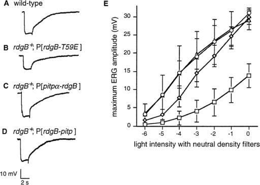 The dominant RdgB-T59E ERG exhibits reduced photosensitivity. (A–D) ERGs were recorded to a 2-s light stimulus  from 1-d-old wild-type (A), rdgB+; P[rdgB-T59E] (B), rdgB+;  P[pitpα-rdgB] (C), and rdgB+; P[rdgB-pitp] (D) flies. The light  response amplitude of the rdgB+; P[rdgB-T59E] flies is ∼60% of  either the wild-type or rdgB+; P[pitpα-rdgB] flies. A 10-mV scale  is shown at the bottom. All the flies contained the white+ gene,  which conferred the wild-type eye color to remove potential differences due to the expression of w+ from the P element construct. (E) The ERG amplitudes of wild-type flies (diamonds),  rdgB+; P[rdgB-T59E] (squares), rdgB+; P[pitpα-rdgB] (circles),  and rdgB+; P[rdgB-pitp] (triangles) were recorded over a range of  light intensities. Neutral density units, corresponding to the filters  used to modulate the light intensity, are plotted against the light  response amplitude. Each point represents a minimum of four independent recordings and the standard deviation is shown as vertical lines.