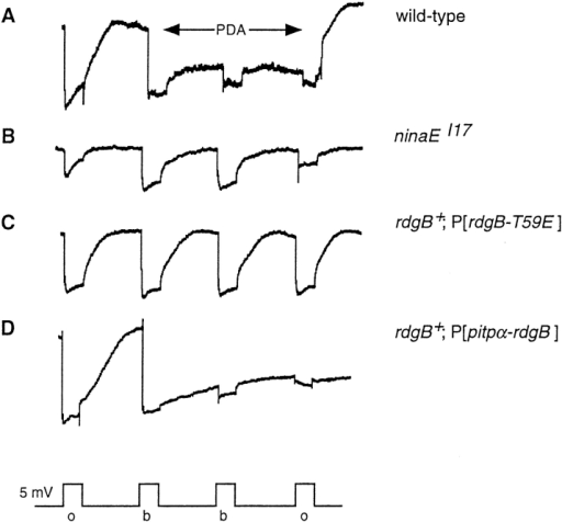The dominant RdgB-T59E protein generates a nina-like  ERG. White-eyed (cn bw) versions of wild-type (A), ninaEI17  (which fails to express any of the R1-6 opsin), (B), rdgB+;  P[rdgB-T59E] (C), and rdgB+; P[pitpα-rdgB] flies (D) were tested  for the ERG light response using 5 s of either orange (o) or blue  light (b) stimulation. Wild-type flies exhibit both a PDA and inactivation of the R1-6 light response by blue light. The ninaEI17  flies possess neither the PDA nor the blue light inactivation. The  rdgB+; P[rdgB-T59E] flies also fail to exhibit a PDA and R1-6 inactivation by blue light. The rdgB+; P[pitpα-rdgB] flies appear to  possess a PDA, but they failed to rapidly return to baseline after  the subsequent orange light stimulus. A 5-mV scale is shown at  the bottom.