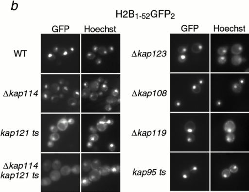 Kap114p, Kap121p, Kap123p, and Kap95p participate in the nuclear import of H2A and H2B. H2A1-46GFP2 (a) or H2B1-52GFP2 (b) were expressed in wild-type (WT) and kap mutant strains (as indicated) and the GFP moiety detected by fluorescence imaging. The coincident Hoechst staining is shown. Strains were grown at 30°C, except for strains with temperature-sensitive alleles (kap121ts and kap95ts), which were grown at room temperature. Images were identically manipulated in Photoshop. (c) Images of the NLS reporter-bearing strains, grown as above or as indicated, were captured by fluorescence imaging. The mean fluorescence intensity of a defined pixel area was measured in the nucleus (N) and cytoplasm (C), and used to calculate the N:C ratio of mean fluorescence intensity. The mean ratio for 50 cells is shown (columns), as well as the SD.