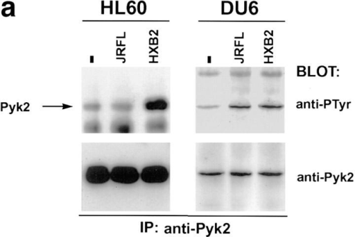 Tyrosine phosphorylation of Pyk2 after contact with HIV-1  envelope glycoprotein on the surface of transfected 293T cells and virions. (a) HL60 or DU6 cells were lysed 30 s after being mixed with 293T  cells expressing M-tropic (JRFL), T-tropic (HXB2), or no (−) envelope.  (b) DU6 cells were mixed with HIV–luc particles pseudotyped with either JRFL or VSV-G envelopes and lysed after 90 s. As a positive control,  MIP-1β was incubated with DU6 cells for 30 s before lysis.
