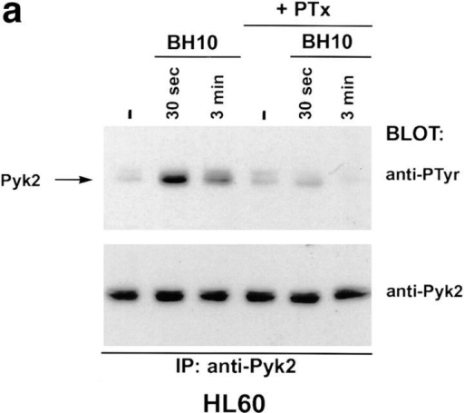 Tyrosine phosphorylation of Pyk2 mediated by T-tropic  gp120 can be inhibited by pertussis toxin or a monoclonal antibody  against CXCR4. (a) HL60 cells were pretreated with pertussis toxin or  left untreated. Treated and untreated cells were incubated with T-tropic  gp120 (BH10, 5 μg/ml) for the indicated times before lysis. (b) HL60  cells were resuspended in growth media/0.5% FCS either without antibody (no Ab) or containing monoclonal antibodies specific for CXCR4  (anti-CXCR4) or human CD8 (control Ab). Cells were incubated with antibody at 37°C for 15 min, then mixed with T-tropic SF-2 envelope for  30 s before lysis.