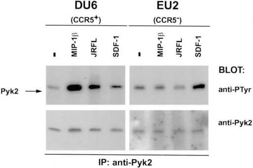 Tyrosine phosphorylation of Pyk2 in response to M-tropic  gp120/gp41 requires expression of CCR5 on target cells. DU6 cells (5 ×  106) or the equivalent number of CD4+CCR5− T cells (EU2) were incubated with MIP-1β (500 nM), SDF-1α (500 nM), or JRFL gp120/gp41  (5 μg/ml) for 30 s before lysis.