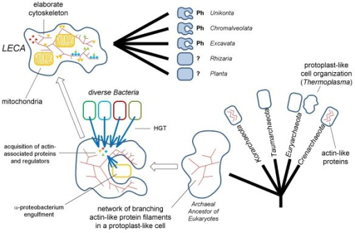 The proposed endosymbiotic scenario of eukaryogenesis and subsequent origin of phagocytosis. The evolutionary tree of archaea is shown as a multifurcation of 5 major branches: Crenarchaeota, Euryarchaeota, Korarchaeota, Thaumarchaeota, and the hypothetical Archaeal Ancestor of Eukaryotes which is depicted as an irregular shape to emphasize the likely absence of a rigid cell wall. LECA, Last Universal Eukaryotic Ancestor. HGT, Horizontal Gene Transfer. The primary radiation of eukaryotes is shown as a multifurcation of 5 supergroups: Unikonts, Chromalveolata, Excavates, Rhizaria, and Planta. At least, three of the supergroups evolved full-fledged phagocytosis (Ph).