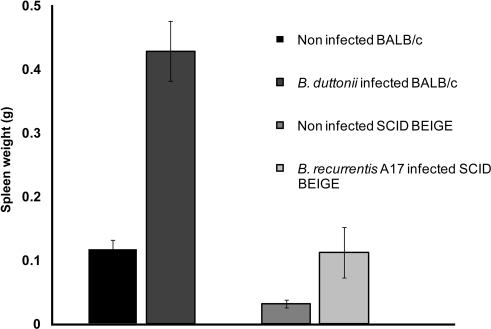 Splenomegaly in infected mice.Although expansion of B- and T-cells is the major cause of splenomegaly in wild-type animals, SCID BEIGE mice infected with B. recurrentis A17 displayed significant (p<0.01) splenomegaly,which indicates a T-, B-, and NK-cell-independent immune response.