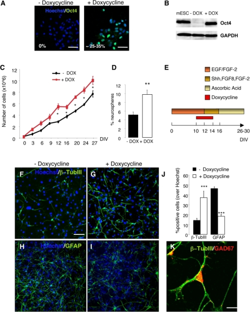 Short-term overexpression of Oct4 increases proliferation, self-renewal and neuronal differentiation of adult SVZ NSCs.(A) Adult SVZ NSCs were isolated from doxycycline (DOX)-inducible Oct4 transgenic mice (rTA-Oct4) and grown as neurospheres in growth medium with EGF/FGF-2. Oct4 was induced by 2 µg/mL DOX. Fluorescence images of rTA-Oct4 NSCs cultured for 48 hours, with or without DOX, and stained with an antibody to Oct4. Percentages of Oct4+ cells are indicated. (B) DOX-dependent induction of Oct-4 protein in adult SVZ NSCs from rTA-Oct4 transgenic mice determined by Western blot analysis. Mouse embryonic stem cells (mESC) were used as control. GAPDH was used as loading control. (C) Growth curves of DOX-induced and -uninduced adult SVZ NSCs. Time points represent average values from triplicate measurements and their standard deviations (* p≤0.05, Two-way ANOVA with post hoc analysis by Bonferroni test). (D) Clonal analysis of SVZ adult NSCs after Oct4 induction. NSCs were grown as neurospheres and treated with DOX or left untreated. After dissociation, single cells were replated and the total number of neurospheres with a diameter >100 µm was assessed and expressed as % over plated cells (** p≤0.01, t-test). Error bars indicate SEM. (E) Schematic representation of the experimental design: SVZ adult NSCs were isolated from rTA-Oct4 transgenic mice and grown as neurospheres in growth medium with EGF/FGF-2, with or without DOX. Forty-eight hours after Oct4 induction, neurospheres were dissociated and replated in differentiation medium with Shh, FGF8, FGF-2, with or without DOX. DOX was withdrawn after 48 hours. Cells were finally differentiated with ascorbic acid (AA). (F–I) Immunofluorescence staining for β-TubIII (green, F–G) and GFAP (green, H–I) of adult SVZ NSCs differentiated with or without Oct4 induction. Nuclei were counterstained with Hoechst. (J) Quantification of β-TubIII+ neurons and GFAP+ astrocytes in untreated and DOX-treated neuronal cultures. Error bars indicate SEM. Three independent experiments were performed in triplicate. (*** p≤0.001; t-test). (K) Immunofluorescence staining for β-TubIII (green) and GAD67 (red) of differentiated adult SVZ NSCs upon Oct4 induction. The majority of β-TubIII+ neurons co-expressed GAD67. Scale bars: 50 µm (F–I); 10 µm (K).