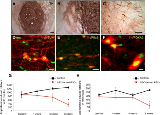 DA neurons from Oct4 reprogrammed adult NSCs integrate into the striatum of 6-OHDA lesioned parkinsonian rats and improve behavioural deficits.(A) A low-power overview of an iPSC cell graft 8 weeks after transplantation stained with an antibody against TH (dark brown). (B–C) Higher magnification of a NSC-derived iPSC graft showing TH-positive soma and the reinnervation of the surrounding host striatum by donor-derived neurites. The dashed line indicates the edge of the graft. (D–F) Confocal analysis of NSC-derived iPSC grafts, 8 weeks post-transplantation, showed that most grafts contained midbrain DA neurons. The grafted TH-positive cells (red) were colabeled with antibodies against NeuN (green) (D), Pitx3 (green) (E) and FOXA2 (green) (F). (G–H) DA neurons from NSC-derived iPSCs reversed amphetamine- and apomorphine-induced rotational behaviour upon engraftment into 6-OHDA-lesioned rats. Animals were analysed for amphetamine- and apomorphine-induced rotational behaviour before and 4, 6, and 8 weeks post transplantation. Graphs show mean values±SEM. (* p≤0.05, Two-way ANOVA with post hoc analysis by Bonferroni test). Scale bars: 200 µm (A–B); 100 µm (C); 20 µm (D–E); 10 µm (F).