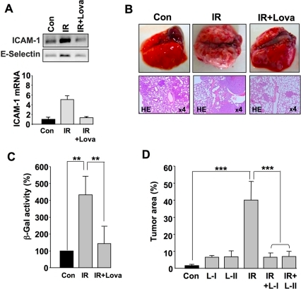 Lovastatin attenuates IR-induced metastasis in vivo.A: Balb/c mice were pretreated with lovastatin (10 mg/kg, p.o.) and irradiated with 6 Gy. 4 h after TBI, large blood vessels (i.e. pulmonary and abdominal artery) were isolated for total mRNA preparation and subsequent semiquantitative RT-PCR. ICAM-1 mRNA expression levels shown in the histogram were obtained by real-time PCR analyses (triplicate determinations). The level of ICAM-1 mRNA was normalized to the levels of GAPDH and β-actin and set to 1.0 in the untreated control (Con). Con, non-irradiated control; IR, irradiation; IR+Lova, IR exposure after lovastatin pre-treatment. B, C: 2×106 CHO-K1 cells were injected into the tail vein of immunodeficient Rag2−/− Balb/c mice which had been pre-treated or not with lovastatin (10 mg/kg, p.o.) for 2 days. Immediately after tumor cell injection, mice were irradiated with 4 Gy (IR). Post-treatment with lovastatin was not performed. 3–4 weeks after TBI, formation of metastasis was analyzed. B, IR, irradiation; IR+Lova, IR exposure after lovastatin pre-treatment. Shown are representative morphological and histopathological pictures (from n = 4–6 animals per group). C, The protective effect of lovastatin on IR-induced extravasation and lung metastasis of CHO-K1 cells was quantitated by determination of β-Gal activity in protein extracts from lung. Relative β-Gal activity in untreated control was set to 100%. See also Figure S3. **p≤0.01 (n = 4 mice). D: 2×106 CHO-K1 cells were injected into the tail vein of immunodeficient Rag2−/− Balb/c mice which had been pretreated or not with lovastatin for 14 days (10 mg/kg, p.o., 3x per week). Immediately after tumor cell injection, mice were irradiated with 4 Gy (IR). 3–4 weeks later, the percent tumor area in lung sections was calculated as described in methods. IR, irradiation; IR+Lova, IR exposure after lovastatin pre-treatment; L-I, lovastatin pre-treatment only; L-II, lovastatin pre- and post-treatment. Post-treatment (10 mg/kg, p.o., 3x per week) was performed for 2 weeks. *** p≤0.001 (n = 4 mice per group).