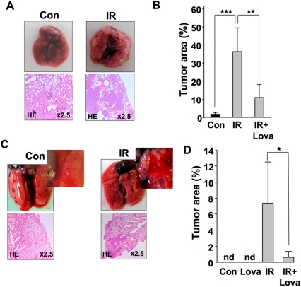 Radiation response of normal tissue is sufficient for provoking lung metastasis.A, B: Rag2−/− Balb/c mice that have been pre-treated or not with lovastatin (Lova) for 4 days (10 mg/kg, p.o.) were irradiated with 4 Gy before tumorigenic (non-irradiated) CHO-K1 cells (2×106) were injected into the tail vein. 3–4 weeks later, formation of lung metastases was analyzed. A, representative morphological and histopathological pictures demonstrating the pro-metastatic effect of TBI; B, quantitative analysis of tumor area in lung sections. Con, non-irradiated control; IR, TBI with 4 Gy. ** p≤0.01; *** p≤0.001 (n = 4–8 mice). C, D: 2×106 human colon carcinoma cells (HT29) were injected into the tail vein of CB-17 SCID mice which have been pretreated or not with lovastatin (Lova) for 4 days (10 mg/kg, p.o.). Immediately after injection of the tumor cells, animals were irradiated with 2.5 Gy. 3–4 weeks later, lung metastases were analyzed by calculating the tumor area as described in Methods. C, representative morphological and histopathological pictures illustrating the IR effect; D, quantitative analysis of percent (%) tumor area in lung sections. Con, non-irradiated control; IR, total body irradiation with 2.5 Gy; nd, no tumor cells detectable. * p≤0.05 (n = 3–4 mice). See also Figure S4.