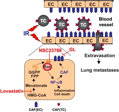 Model of IR-induced tumor cell extravasation and metastasis and pharmacological strategies to prevent this adverse radiation effect.Ionizing radiation (IR) triggers the expression of different types of cell adhesion molecules on tumor (TC) and endothelial (EC) cells, which augment TC-EC adhesion and subsequent extravasation of tumor cells. By inhibiting Rac1-regulated activation of NF-κB, HMG-CoA reductase inhibitors (statins) specifically attenuate IR-induced expression of endothelial cell adhesion molecules, thereby antagonizing radiation-promoted adhesion of circulating tumor cells as well as subsequent extravasation and formation of lung metastases. TBI-promoted metastasis can also be reduced by targeting of the small GTPase Rac1 using the small molecule inhibitor NSC23766 and/or the Sialyl-Lewis X mimetic glycyrrhizic acid, which acts as E-selectin antagonist. CAF, cell adhesion factors; FPP, farnesylpyrophosphate; GGPP, geranylgeranylpyrophosphate; GL, Glycyrrhizic acid.