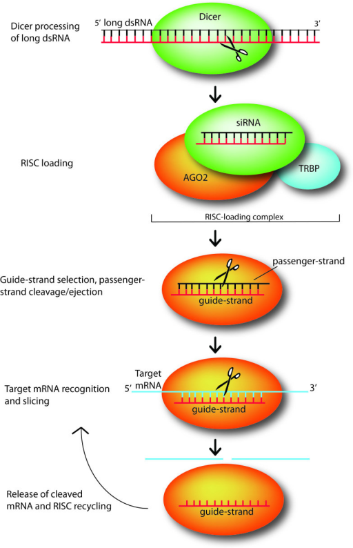 Small interfering RNAs (siRNAs) mediate silencing of target genes by guiding sequence dependent slicing of their target mRNAs. These non-coding, silencing RNAs begin as long double-stranded RNA (dsRNA) molecules, which are processed by endonuclease Dicer into short, active ~21-25 nt constructs. Once generated, a siRNA duplex is loaded by Dicer, with the help of RNA-binding protein TRBP, onto Argonaute (AGO2), the heart of the RNA-induced silencing complex (which here is represented just by AGO2). Upon loading, AGO2 selects the siRNA guide strand, then cleaves and ejects the passenger strand. While tethered to AGO2, the guide strand subsequently pairs with its complementary target mRNAs long enough for AGO2 to slice the target. After slicing, the cleaved target mRNA is released and RISC is recycled, using the same loaded guide strand for another few rounds of slicing [12].
