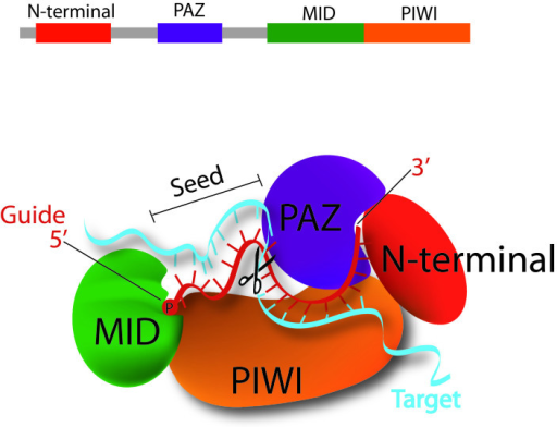"A closer look at the model for siRNA guide-strand tethering by AGO2 and target-mRNA recognition and slicing. The terminal 5' monophosphate group of the guide strand tucks in between the MID and PIWI domains of AGO2. Meanwhile, AGO2's PAZ domain has a hydrophobic pocket that specifically recognizes the guide-strands 3' dinucleotide overhang. This positioning opens up siRNA guide nucleotides 2-8, the ""seed region,"" for base pairing with complementary target mRNA, and next base pairing at nucleotides 10-11 correctly orients the scissile phosphate between these two for cleavage by AGO2's PIWI domain, which houses the protein's ""slicer"" activity [12]."