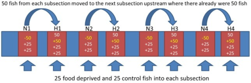 Schematic overview of the experimental stream showing buffer zones (blue) and experimental subsections (red), and the additions of fish into each subsection.Length of each experimental subsection was defined as containing 50 fish. In the natural density subsections (N), these fish (marked in yellow) were transferred to upstream sections (+50), and replaced with 25 treatment and 25 control fish from the laboratory, thus restoring the natural density of 50 individuals. High density subsections (H) had their initial 50 individuals, received 50 from the natural density subsections, and 25 treatment and 25 control fish from the laboratory, resulting in three times higher number than normal.