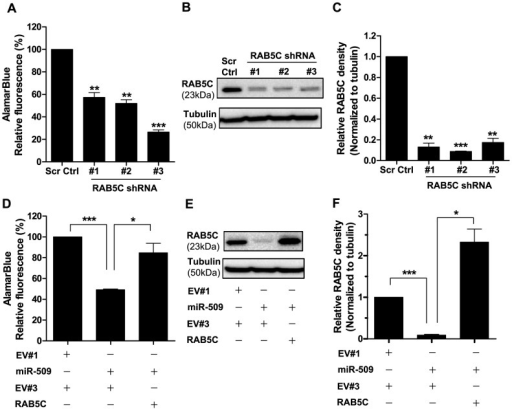 RAB5C mediates the growth-inhibitory effect of miR-509.(A) AlamarBlue assay of NALM6 cells transduced with either lentivirus of scrambled control (Scr Ctrl), shRNA#1, shRNA#2 or shRNA#3 for RAB5C on 7 days after transduction. Data represent means ± SEMs of 3 independent experiments with statistical analysis by Student's t test. **p<0.01 and ***p<0.001. (B) Representative western blot of NALM6 cells transduced with lentivirus of scrambled control (Scr Ctrl), shRNA#1, shRNA#2 or shRNA#3 for RAB5C. Protein lysates were harvested 7 days after transduction and α-tubulin was used as a loading control. (C) Quantitation of western blots shown in (B) and 2 other independent experiments. Relative densitometry values were calculated relative to Scr Ctrl. Results show means ± SEMs with statistical analysis by Student's t test. **p<0.01 and ***p<0.001. (D) Enforced expression of RAB5C without its 3′UTR rescues miR-509-mediated growth inhibition. NALM6 cells were co-transduced with the indicated plasmids, and alamarBlue assay was read at 7 days after transduction. The empty lentiviral vector in this experiment is EV#3, which does not have RAB5C cloned in. Results show means ± SEMs of 3 independent experiments, with statistical analysis using Student's t test. *p<0.05 and ***p<0.001. (E) Representative western blot of NALM6 cells co-transduced with lentivirus of the indicated plasmids. Protein lysates were harvested 7 days after transduction and α-tubulin was used as a loading control. (F) Quantitation of western blots shown in (E) and 2 other independent experiments. Relative densitometry values were calculated relative to EV#1 and EV#3. Results show means ± SEMs with statistical analysis by Student's t test. *p<0.05 and ***p<0.001.