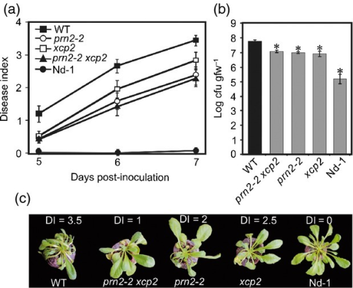 PRN2 interacts genetically with XCP2 during R. solanacearum infection. (a) Plant resistance to R. solanacearum GMI1000. Mean disease indices (see explanation in Figure1c legend) ± SD are shown for 30 plants per genotype 5, 6 and 7 days post-inoculation (DPI). (b) Growth of R. solanacearum bacteria in the plants. Log transformed mean numbers of colony-forming units per gram of fresh weight, cfu/gfw ± SD are shown for three biological replicates per genotype. The asterisks indicate significant differences (P < 0.001) between WT (Col-0) and the other genotypes according to Student's t-test. The pathogen inoculation assay was repeated three times, and the R. solanacearum bacterial growth experiments twice, yielding similar results. (c) Representative symptoms in each genotype at 7 DPI. Disease indices of these particular plants are indicated above each plant.