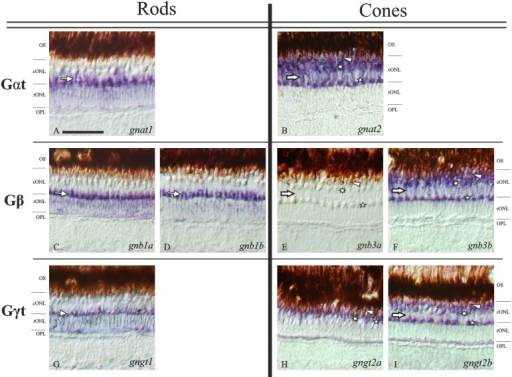 Expression patterns of each transducin subunit gene in the adult zebrafish retina.Nomarski contrast photomicrographs from radial sections of adult zebrafish retina showing the expression of all the transducin mRNAs. Panels A, C, D and G show the rod-specific expression of gnat1, gnb1a, gnb1b and gngt1, respectively. Their expression is observed in the rod nuclei of the rONL, but the strongest staining is observed in their myoids, which are embedded in the cONL sublayer (thin arrows). Panels B, F, H and I show the expression of gnat2, gnb3b, gngt2a and gngt2b, respectively, in all cones: DC (arrowheads), LSC (asterisks) and SSC (stars). The brown retinal pigment epithelium is shown the uppermost part for each picture. The stratification of the outer retina is evident in all panels except H, due to the exclusive ventral expression of gngt2a, where the stratification becomes unclear. Panel E shows the lack of staining in the adult retina for the gnb3a gene. Note that the weaker stained band into the ONLc for the cone-specific transducin subunits (thick arrows) corresponds to the rods' myoid position (thin arrows in rods photomicrographs). Scale bar in panel A: 50 μm. For abbreviations see Fig. 2 legend.