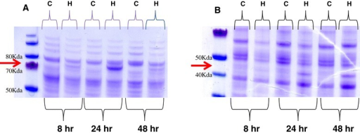 Profiles of secreted and cellularP. ostreatusproteins obtained from cultures grown in the presence of HMF. Secreted (A) and cellular (B) proteins were extracted from P. ostreatus 8, 24, and 48 h after addition of 30 mM of HMF to the media. The proteins were resolved by SDS-PAGE 4% to 12%. C: control cultures without HMF, H: cultures exposed to HMF. Arrows point to major visible difference in the profiles.