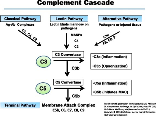 The complement cascades. The three pathways of complement activation are shown. Although each is triggered independently, they merge at the step of C3 activation. The CP is initiated by the binding of antibody to antigen and the lectin pathway by the binding of lectin to a sugar. The alternative pathway turns over continuously and possesses a feedback loop (see Fig. 3). Activation of the complement system leads to inflammation, opsonization, and membrane perturbation. Abbreviations: MASP MBL-associated serine protease, MBL mannose-binding lectin, FB factor B, FD factor D, P properdin