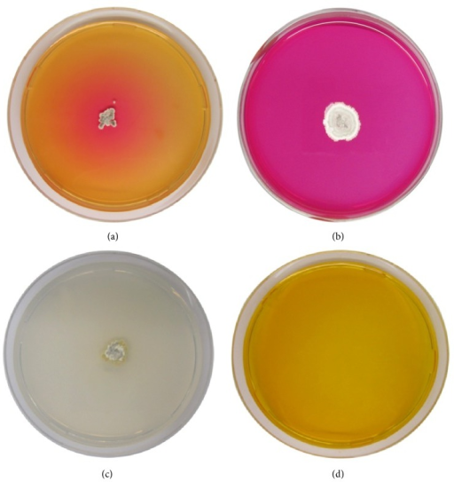 L-asparaginase activity of Streptomyces sp. NEAE-119 detected by plate assay. (a, b) Production of the enzyme indicated by color change in the medium from yellow to pink zone surrounding the colony after two and five days, respectively. (c) Control plates were prepared as inoculated medium without dye. (d) Uninoculated medium with dye.
