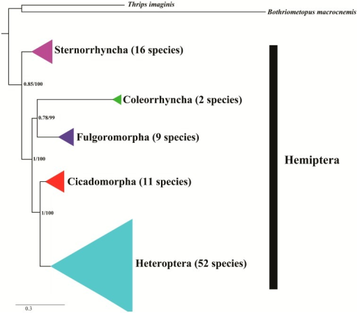 ML and BI Phylogenetic tree inferred from 90 hemipteran mitogenome sequences based on 13 PCGs. The node support values are the Bayesian posterior probabilities (BPP) and the bootstrap (BS) values.