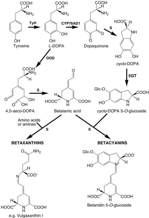 Putative core betalain biosynthetic pathway in plants. S, spontaneous reaction; the primary enzymatic reactions are tyrosine hydroxylating activity (TyH), the enzyme for which has not been unequivocally determined; CYP76AD1, a cytochrome P450 enzyme that catalyzes oxidation of L-DOPA for the formation of cyclo-DOPA; and DOPA 4,5-dioxygenase (DOD) catalyzing the cleavage of L-DOPA needed for the formation of betalamic acid. Betacyanins normally accumulate as glycosides and may also be acylated. Regarding glucosylation at the 5-O-position, it appears that it is primarily done by cyclo-DOPA 5-O-glucosyltransferase (5GT) prior to the conjugation that forms the betacyanin.