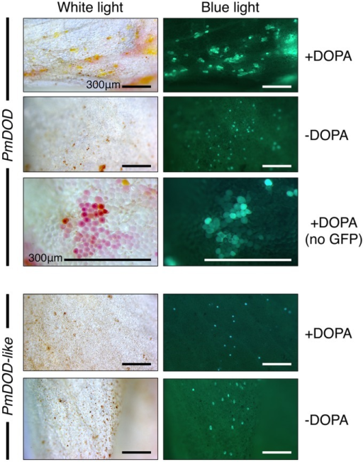 Differential activity of PmDOD and PmDOD-like in a transient expression assay. White petal tissue of A. majus was bombarded with constructs for the genes (driven by the 35S promoter) followed by supplementation with DOPA or water. Representative petal samples are shown. A GFP construct was also included, except for the PmDOD-bombarded tissue in the magnified panels. Betalain pigments were observed only in PmDOD-bombarded tissue that was also fed DOPA and they had characteristic autofluorescence in blue light. No pigments were observed in PmDOD-like bombarded tissue despite GFP fluorescence indicating that the experimental conditions were sufficient for transformation. Scale bar = 300 μm.