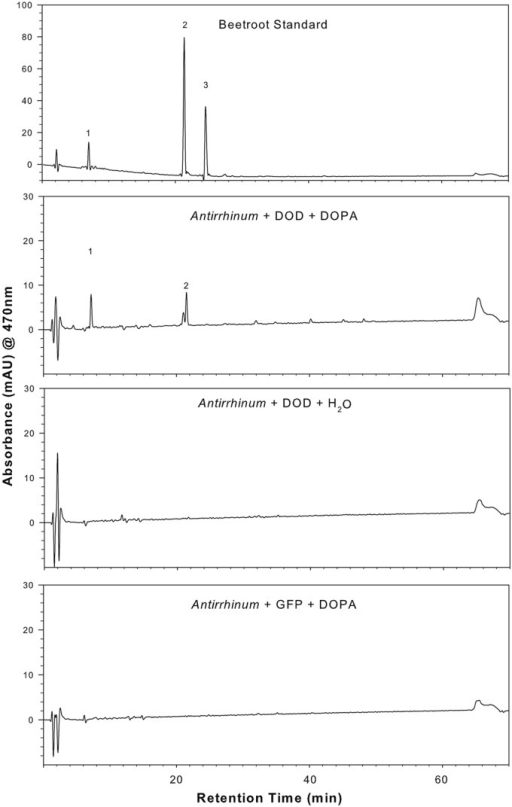 Presence of betalain pigments in A. majus petals transiently transformed with 35S:PmDOD and fed DOPA. HPLC analysis was conducted on a tissue extract and compared to a known beetroot control sample. Pigment retention times and absorption maximums were consistent with the major pigments being the same as those in beetroot – betanin (peak 2) and vulgaxanthin I (peak 1). The chromatograms shown are only for the solvent gradient optimized for betaxanthin separation and detection at 470 nm, conditions that are also adequate for separation and detection of the beetroot betacyanins. Chromatograms of A. majus control tissue (35S:PmDOD-bombarded tissue fed water, 35S:GFP bombarded tissue fed DOPA) show no pigment peaks.