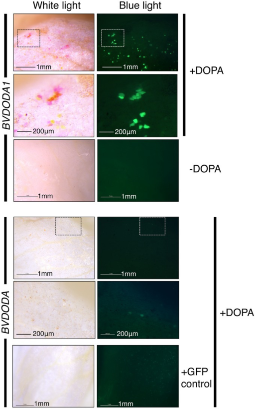 Differential activity of BvDODA and BvDODA1 in a transient expression assay. White petal tissue of A. majus was bombarded with constructs for the genes (driven by the 35S promoter) followed by supplementation with DOPA or water. Representative petal samples are shown. Pigmentation was only visible in BvDODA1 bombarded tissue that was also fed DOPA. The pigmented regions also had fluorescence in blue light characteristic of betaxanthins. The only phenotype observed in BvDODA-bombarded tissue was a small number of cells in the DOPA-fed samples with weak green fluorescence in blue light. Control tissue bombarded with both BvDODA and GFP constructs and fed DOPA lacked pigment formation while GFP fluorescence indicated transformation had occurred. Scale bar = 1 mm. Hashed squares show regions depicted at higher magnification in panels with 200 μm scale bars.