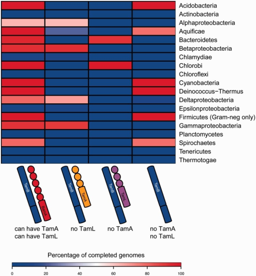 The distribution of TamA, TamB, TamL, and BamA. Percentages of all completed genomes of the respective Phyla, which encode for the indicated proteins, are shown by color shading: Blue indicates 0%, white indicates 50%, and red indicates 100% as indicated in the legend. The completed genomes of three organisms with outer membranes were found to lack BamA (Heinz and Lithgow 2014): Coxiella burnetii (strain CbuG_Q212) lacks BamA but encodes a TamA, and Helicobacter pylori (strain SouthAfrica7) and Helicobacter pylori (strain Gambia94/24) both lack any Omp85 proteins based on their genome data. The Coxiella strain encodes a TamB, whereas both Helicobacter strains encode an AsmA_TamB protein. Only Phyla (Classes for the Proteobacteria) with more than five taxa with completed proteomes according to UniProt are shown. For the Firmicutes, only the organisms with a Gram-negative like cell envelope are shown.