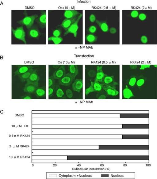 Effect of RK424 on cytoplasmic localization of NP.(A) HeLa cells were infected with A/WSN/1933 (H1N1) virus at an MOI of 10 in the absence or presence of 0.5 and 2 μM of RK424 for 6 h. Subcellular localization of NP was observed by indirect immunofluorescence staining with anti-NP MAb under a confocal laser scanning microscope. Three independent experiments were performed and one representative result is shown. (B) HeLa cells were transfected for 48 h with NP/pCAGGS plasmid in the absence or presence of RK424 (0.5μM and 2 μM). The subcellular localization of NP was observed as described for virus-infected cells. Three independent experiments were performed and one representative result is shown. (C) The percentage of cells showing nuclear localization (black bar) or cytoplasm localization (white bar) of NP was calculated by counting 500 cells per sample. Oseltamivir phosphate (Os) was used as a negative control. Data are expressed as the mean ± SD in each of three independent experiments.