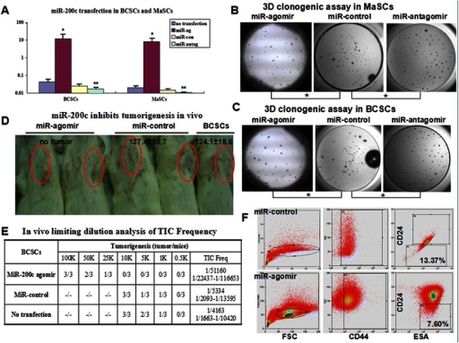 miR-200c inhibits the self-renewal of BCSCs and MaSCs. a. In qRT-PCR assay, miR-200c agomir significantly upregulates miR-200c expression in both BCSCs and MaSCs (*, P < 0.01); miR-200c antagomir significantly downregulates miR-200c expression in both BCSCs and MaSCs (**, P < 0.01). b. In MaSCs, miR-200c agomir significantly decreases the colonies (P < 0.01, n = 5) while miR-200c antagomir significantly increases the colonies (P < 0.01, n = 5). c. In BCSCs, miR-200c agomir significantly decreases colonies (P < 0.01, n = 5) while miR-200c antagomir significantly increases colonies (P < 0.01, n = 5). d. No tumor was observed in the test group (miR-200c agomir) in 2 months after inoculation of 10 K cells. In the miR-control group and parental BCSC group, average tumor volumes are 137.4 ± 13.7 mm3 and 124.1 ± 18.6 mm3, respectively. e. A limiting dilution assay for tumorigenesis in vivo and TIC Frequency calculation. f. Surface markers (ESA+CD44+CD24-/low) of BCSCs were detected on day 10 after transfecting miR-agomir or miR-control