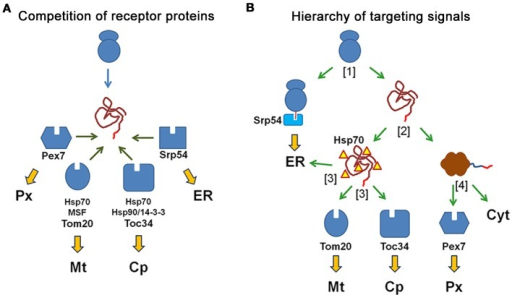 N-terminal targeting signals determine the transport route of proteins by the interaction with the receptor proteins. (A)Competition of receptor proteins: the N-terminal amino acid sequence of a newly synthesized protein can interact with all receptor proteins, which compete for the peptide sequence (peroxisomal Pex7, mitochondrial Tom20, chloroplast Toc34, and Srp54 for the ER) and with additional cytosolic proteins that might affect these interactions (Hsp70, Hsp90, 14-3-3 proteins). The choice of the transport route is based on the relative affinity of the peptide sequence to different receptor proteins. (B)Different import mechanisms generate a hierarchy of targeting signals: An N-terminal amino acid sequence is sequentially scanned by diverse receptor proteins, because these interactions occur at different time points during the production and folding of the protein. A newly synthesized protein either binds to the SRP to become translated into ER or it finishes translation in the cytosol [1] Next, the protein either becomes folded or remains unfolded due to its interaction with chaperones, [2] Unfolded proteins can interact with the mitochondrial receptor Tom20, the chloroplast receptor Toc34 or the Sec61 complex of the ER (translocon), [3] Finally, folded proteins can either interact with the soluble receptor protein Pex7, which initiates their transport into peroxisomes, or they remain in the cytosol [4].