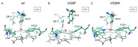 Schematic representations of the distal site of Mt-trHbN.(A) wild type, (B) VG8F and (C) VG8W forms showing, on the basis of MD simulations, the hydrogen-bond network (dotted lines) stabilizing a water molecule above the iron heme. The percentages depicted as insets in the figure correspond to active site water occupancy during MD simulation.