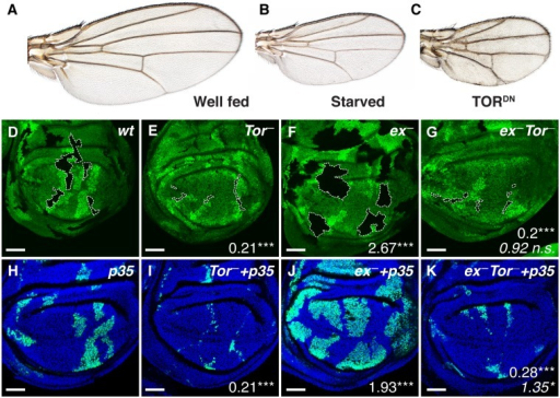 "Effects of TOR inhibition on wing growth and Yki-driven cell proliferation.A–C: Adult Drosophila wings. (A) A wing from a well-fed wild type fly. (B) Scaled-down wing produced by raising larvae on nutrient-poor food. (C) Scaled-down wing caused by blocking TOR signaling specifically in wing cells with nubbin.GAL4 UAS.TorTED. (D–G) Wing discs from late third instar larvae-bearing clones of mutant tissue outlined with dashed lines, and marked negatively (""black"") by absence of the GFP marker (green): (D) wild type (control) (E) TorΔP, (F) exe1, (G) exe1TorΔP. Mutant clones were induced at the end of the first instar, 48±2 hr after egg laying and are associated with sibling ""twin-spot"" clones marked by two copies of the GFP marker (bright green) that serve as an internal control for the growth of w.t. tissue. Numbers denote mean clone size ratio compared to wt, and asterisks denote significances from t tests (* = p < 0.05, ** = p < 0.01, *** = p < 0.001, n. s. = not significant). In (G), the bottom italicised value is a comparison with the TorΔP genotype. Number of clones measured (n) = 32 (wt), 38 (ex), 51 (Tor), 36 (ex Tor). (H–K) Clones of the same genotypes as in (D–G) that coexpress p35 with GFP-NLS (generated using the MARCM technique [36]. Clones are positively labelled by GFP-NLS, and nuclei are counterstained with Hoechst (blue). (n) = 92 (wt+p35), 90 (ex+p35), 97 (Tor+p35), 79 (Ex Tor+p35). Numbers signify mean clone size ratio compared to wt+p35, and bottom italicised value in (K) with Tor+p35."