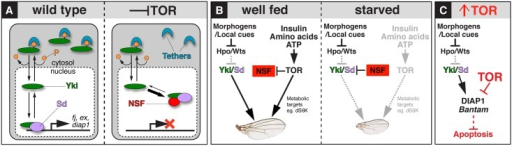 Integrating Yki-dependent wing growth with InR/TOR pathway activity.(A) Under normal physiological conditions (left panel), Yki shuttles between the nucleus and cytoplasm in response to phosphorylation (P) by Wts, which targets Yki to cytosolic tethers. Wing disc intrinsic signals (e.g., the morphogens Dpp and Wg) drive wing growth by down-regulating Wts activity, allowing a small proportion of Yki to escape phosphorylation-dependent tethering, enter the nucleus, and bind to its growth-promoting target genes in complex with Sd. Inhibiting the InR/TOR pathway results in up-regulation or activation of a putative NSF that sequesters unphosphorylated Yki in the nucleus and impedes binding of the Yki-Sd complex to its target genes, reducing Yki-Sd dependent growth. (B) Proposed integration of InR/TOR and Wts/Yki signaling to scale wing growth. In well-fed animals (left panel), TOR activation by wing disc extrinsic, nutrient-dependent signals facilitates Yki-dependent tissue growth by two parallel means: (i) by inhibiting NSF and thereby potentiating Yki nuclear access and target gene expression, and (ii), by up-regulating cell physiological functions such as dS6-Kinase and possibly many others, to match growth potential to the level of Yki target gene activity. Reductions in InR/TOR activity diminish both outputs, leading to reduced cell proliferation and tissue growth. (C) Excess growth caused by superphysiological activation of TOR is offset by Yki-independent down-regulation of the antiapoptotic factors DIAP1 and bantam, promoting cell death and safeguarding the developing wing against hyperplasia.