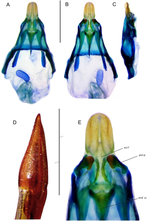 Genitalia of Pixibinthus sonicus.(A) Dorsal, (B) ventral, and (C) lateral views of male genitalia. (D) Lateral view of apex of female ovipositor. (E) Ventral view of male genitalia. For abbreviations and symbols, see Material and methods. Scale bars = 1 mm.