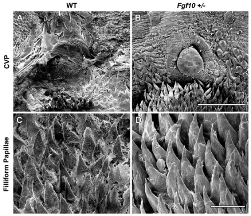Scanning electron microscopy of 10 week old adult female tongues. WT animals retained what appeared to be sheets of mucus covering the posterior CVP (A) and filliform papillae (C) while no mucus remained on Fgf10 +/- tongues following HCl treatment (B, D). Scale bar in B = 500um (same scale in A). Scale bar in D = 100um (same scale n C).