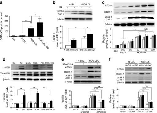 HOG-LDL induces JNK phosphorylation-dependent autophagy in HRCPs. (a) HRCPs were transfected with GFP–LC3B plasmid for 36 h, then exposed to N-LDL (200 mg/l) or HOG-LDL (200 mg/l) for 24 h, with or without CQ (10 μmol/l) pre-treatment for 1 h. Untreated cells served as control (Ctrl) in this and the following figs. Autophagy was quantified by counting GFP–LC3B puncta within cells (n = 5 experiments; *p < 0.05, **p < 0.01). (b) HRCPs were directly exposed to LDL with or without CQ and analysed by western blot for LC3BII. White bars, control; black bars, CQ (mean ± SD, n = 3; *p < 0.05). (c) HRCPs were exposed to N-LDL (200 mg/l) or HOG-LDL (25–200 mg/l) for 12 h and analysed by western blot. ATG-5 (white bars), Beclin-1 (grey bars) and LC3BII (black bars) levels were quantified (mean ± SD, n = 3; **p < 0.01). (d) HRCPs were treated with tunicamycin (TM; 2 μmol/l), N-LDL (200 mg/l) or HOG-LDL (200 mg/l) for 12 h or pre-treated with 4-phenylbutyric acid (PBA; 10 mg/l) before exposure to HOG-LDL. Western blot analysis was carried out and total JNK (white bars) and p-JNK (black bars) levels were quantified (mean ± SD, n = 3; **p < 0.01). (e, f) HRCPs were pre-treated with p-JNK inhibitor SP600125 (10 μmol/l) for 1 h (e), or transfected with siRNA against JNK (si-JNK) or with si-Ctrl for 36 h (f), then exposed to N-LDL (200 mg/l) or HOG-LDL (200 mg/l) for 12 h. Western blotting was carried out and levels of ATG-5 (white bars), Beclin-1 (grey bars) and LC3BII (black bars) were quantified (mean ± SD, n = 3; **p < 0.01)