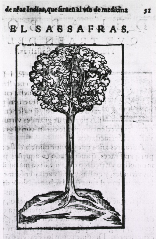 <p>An illustration of a sassafras tree.</p>