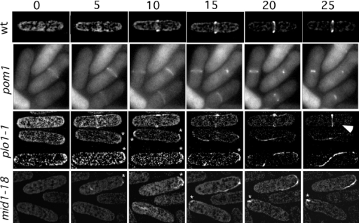 Time-lapse analysis of medial  ring formation in mutant cells. Wild-type (JB13), pom1-Δ1 (JB110), plo1-1  (YDM110), and mid1-18 (YDM296)  cells, all expressing GFP-Cdc4p fusion  protein, were grown at 25°C, then  shifted to 36°C for 1 h in liquid culture.  The living cells were then mounted on  a microscope slide overlaid with an  agar slab and viewed by fluorescence  microscopy at 36°C. For wild-type,  plo1-1, and mid1-18 cells, images were  collected every 0.5 μm at 5-min intervals and processed by deconvolution  methods to generate two-dimensional  projections of the three-dimensional  images (see Materials and Methods).  Images of pom1-Δ1 cells were taken in  a single focal plane. Asterisks and the  arrowhead indicate structures described in the text.