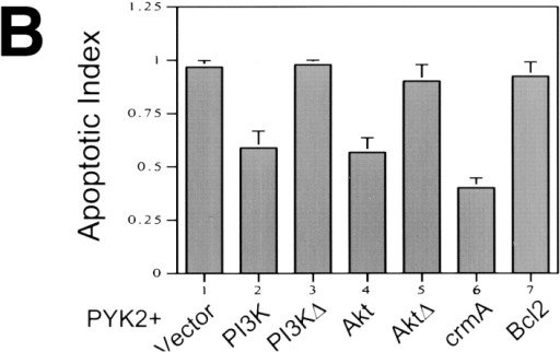Suppression of PYK2-induced apoptosis by overexpression of active PI3 kinase and Akt. Full length PYK2 was  cotransfected into rat-1 cells with constitutively active and inactive PI3 kinase (PI3K, PI3KΔ) and active and inactive Akt (Akt,  AktΔ; at 1:1 molar ratio of DNA). (A) Cotransfected cells were  doubly immunostained using antibodies against PYK2 (a, c, e,  and g), p85 subunit for PI3 kinase (b and d), and HA-epitope for  Akt proteins (f and h). (B) Histograms of the apoptotic index mediated by cotransfection of PYK2-WT with vector alone (1), active PI3 kinase (2), inactive PI3 kinase (3), active Akt (4), inactive Akt (5), crmA (6), and Bcl2 (7).