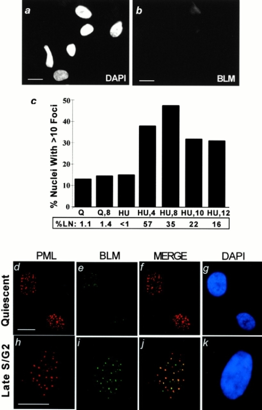 Cell cycle–dependent localization of BLM. Cells were synchronized, immunostained for BLM or PML, stained for nuclear DNA (DAPI), and pulsed (1 h) with [3H]thymidine to determine the percentage of cells in S phase (% LN), as described in Materials and Methods. (a and b) BLM antibody specificity. Proliferating BS fibroblasts (HG2654, shown; GM11492F, not shown) were stained with DAPI (a) to visualize nuclei and the anti-BLM antibody (b). (c) BLM foci during the cell cycle. WI-38 cells were arrested in G0 (Q) and then stimulated with serum for 8 h (Q,8) to enrich for cells in mid-G1. Alternatively, cells were arrested at the G1/S boundary (HU) and released for varying intervals to enrich for cells in mid-S (HU,4), late S/G2 (HU,8), G2/M/early G1 (HU,10), or G1/early S (HU,12). The percent of LN was determined in parallel cultures. Nuclei (≥200 per data point) were scored for the presence of >10 BLM foci. (d–k) BLM and PML were identified by immunostaining using fluorescein isothiocyanate (green) or Texas red secondary antibodies. Red and green fluorescent images were superimposed (MERGE). Nuclei were identified by DAPI staining. (d) PML localization in quiescent cells. (e) BLM localization in quiescent cells. (f) Merged image of PML and BLM localization in quiescent cells. (g) DAPI staining of nuclei in d–f. (h) PML localization in cells in late S/G2. (i) BLM localization in cells in late S/G2. (j) Merged image of PML and BLM localization in cells in late S/G2. (k) DAPI staining of nuclei in h–k. Bars, ∼10 μm.