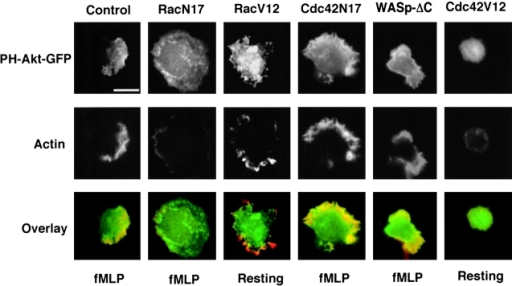 Rac but not Cdc42 stimulates accumulation of PI(3,4,5)P3 and actin polymers. Spatial localization of PH-Akt-GFP (top images) or polymerized actin (middle images) in transfected differentiated HL-60 cells; bottom images show overlay of PH-Akt-GFP (green) and actin polymerization (red). Cells were transiently transfected to express either PH-Akt-GFP alone (control) or in combination with RacN17, RacV12, Cdc42N17, WASpΔC, or Cdc42V12 as indicated. Cells were unstimulated or stimulated for 3 min with a uniform concentration of fMLP (100 nM) and fixed. Bar, 10 μm. Note that the Cdc42V12 construct was normally functional despite its failure to induce actin assemblies in HL-60 cells. Indeed, transient expression of this Cdc42 mutant in COS-7 cells was associated with constitutive Cdc42 activity (result not shown) as assessed in a PAK-PBD pull-down assay (Benard et al., 1999).