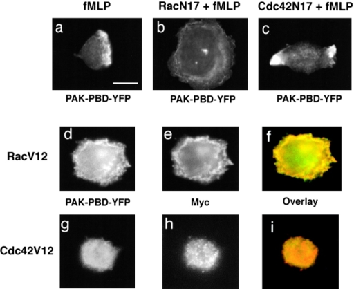 PAK-PBD-YFP reflects localization of activated Rac at the plasma membrane but not that of activated Cdc42. Localization of PAK-PBD-YFP in cells exposed for 3 min to 100 nM fMLP (a–c); in addition to PAK-PBD-YFP, the cell in b coexpressed RacN17 and the cell in c coexpressed Cdc42N17. Cells in d–f and g–i expressed constitutively active Rac or Cdc42, respectively; after 3 min exposure to fMLP, these cells were fixed and imaged for PAK-PBD-YFP fluorescence or immunofluorescence of the myc-tagged Rho GTPase as indicated. Bar, 10 μm.