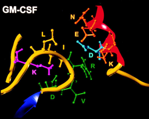 The F′–G′ loop of the second fibronectin domain of the GM-CSF, IL-3, and -5 α chain receptors: sequence alignment and three-dimensional models and homology modeling of the erythropoietin receptor complex with its ligand. The alignment is adapted from Bazan (14) and Goodall  et al. (19). Residues in bold are shown through site-directed mutagenesis to be important for proper ligand binding (humgmcsfr, GMR-α, shown herein;  humil6r, IL-6R-α (17); fn10, fibronectin type III tenth repeat (16); humepor, EpoR (41, 42). Conserved residues within the F′ and G′ strands are boxed,  as well as the conserved WSXWS sequence. Comparison of the F′–G′ loop (yellow) facing helix D (red) of the ligand in the GMR-α, IL-3R-α, and IL-5R-α  models, highlights a possible electrostatic interaction between a positively charged residue, Arg (green), and a negatively charged residue, Asp or Glu (blue).  In GMR-α, R280 is at the tip of the β turn pointing towards the ligand, whereas the aspartic acid (D278, green) is in the vicinity of a lysine (K191, magenta) located in the linker region between the two fibronectin domains. Note that in the IL-3 model, an aromatic residue on the F′–G′ loop, Tyr261, is  close to another aromatic residue, Phe113 from helix D. In the lower right panel, the extracellular domains of the two Epo receptor chains are shown  complexed with the modelized Epo hormone. The Epo–EpoR2 complex is based on the structure of the GH–GHR2 complex, and was generated as described in the Materials and Methods. The π-charge interaction in EpoR consisting of one arginine (white) and two tryptophan (green) from the WSXWS  motif is illustrated. The two disulfide bridges formed between the four conserved cysteine are shown in blue.