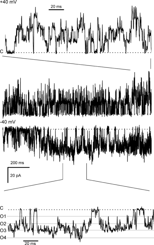 Recordings from an experiment with ∼4 RyRs in the bilayer showing coupled gating at −40 mV. At +40 mV, the channels appeared to gate independently (see text). The baths contained symmetric 250 mM Cs+ solutions with [Ca2+]c = 1 nM and [Ca2+]l = 1 mM. The current baselines are shown by dashed lines and the dashed lines (O1–O4) indicate current levels associated with increasing numbers of open channels.