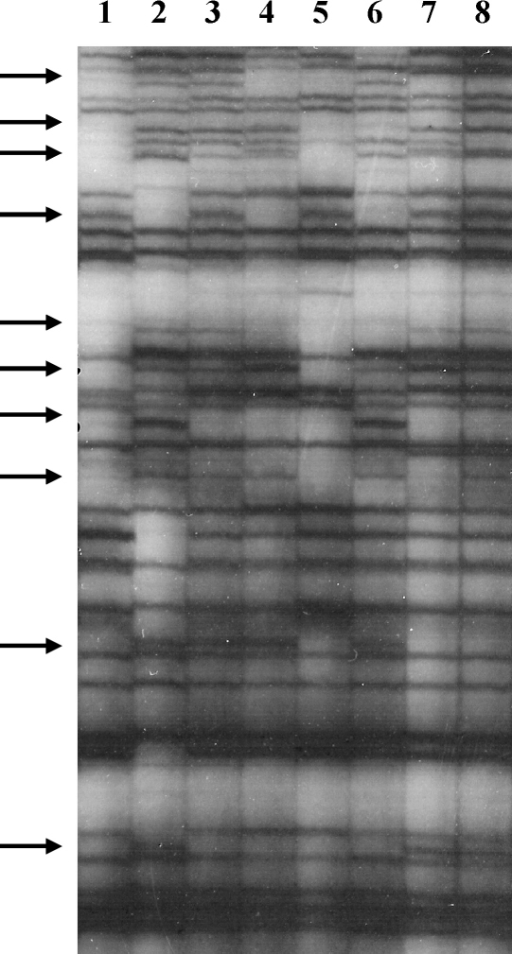 Autoradiograph of labelled AFLP gel with DNA samples digested with HindIII and Taq1. Each primer had a two-nucleotide extension (H-CA and T-AA) for selective amplification and fragments were separated on a 6% acrylamide gel. Tracks: 1-STIB 247; 2-STIB 386; 3-F9/45 mcl 2; 4-F9/45 mcl 11; 5-F492/50 mcl 12; 6-F492/50 mcl 13; 7-F9/45 mcl 9; 8-F9/45 mcl 10. Arrows indicate fragments that are heterozygous for polymorphisms in one of the two parental stocks and segregate in the progeny.