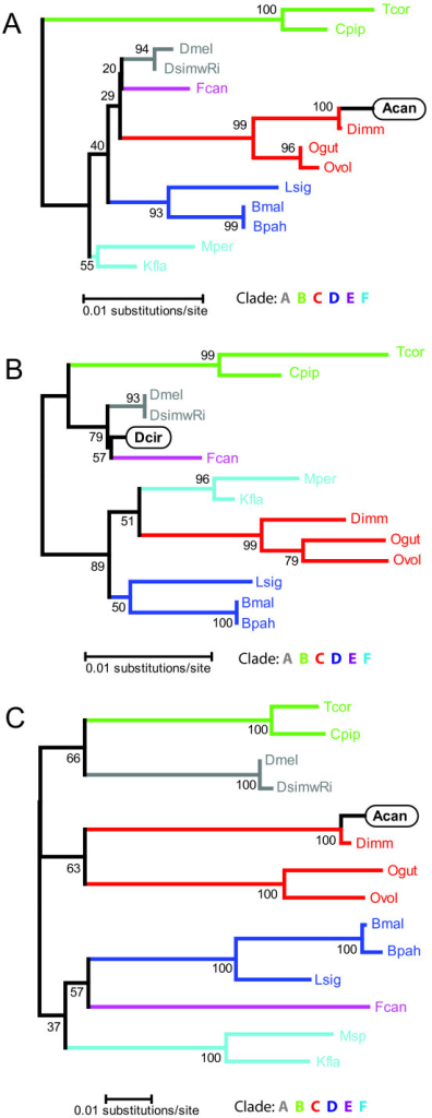 Minimum evolution trees based on alignments of A) the Wolbachia16S (770 nucleotides) reported from A. cantonensis[GenBank:AY652762], B) the Wolbachia 16S (639 nucleotides) of D. circumlita c2 [GenBank:AY486072], and C) the Wolbachia ftsZ (431 nucleotides) reported from A. cantonensis [GenBank:DQ159068 ]. Sequences were aligned using ClustalX version 2.0.7 [14] using default parameters for slow/accurate alignment [Gap Opening:10, Gap Extend: 0.1, IUB DNA weight matrix]. After alignment, sequences were manually trimmed to the endpoints of the 16S sequences of the Wolbachia from A. cantonensis (see additional file 1: Wolbachia 16S multiple sequence alignment – A. cantonensis) and D. circumlita (see additional file 2: Wolbachia 16S multiple sequence alignment – D. circumlita), and to the endpoints of the ftsZ sequence of the Wolbachia from A. cantonensis (see additional file 3: Wolbachia ftsZ multiple sequence alignment). Phylogenetic trees were calculated using the Minimum Evolution method in MEGA4 [15]. The percentage of replicate trees in which the associated taxa clustered together in the bootstrap test (1000 replicates) is shown next to the branches. Evolutionary distances were computed using the Maximum Composite Likelihood. The Minimum Evolution tree was searched using the Close-Neighbor-Interchange (CNI) algorithm at a search level of 1. The Neighbor-joining algorithm was used to generate the initial tree. All positions containing gaps and missing data were eliminated from the dataset (Complete deletion option).